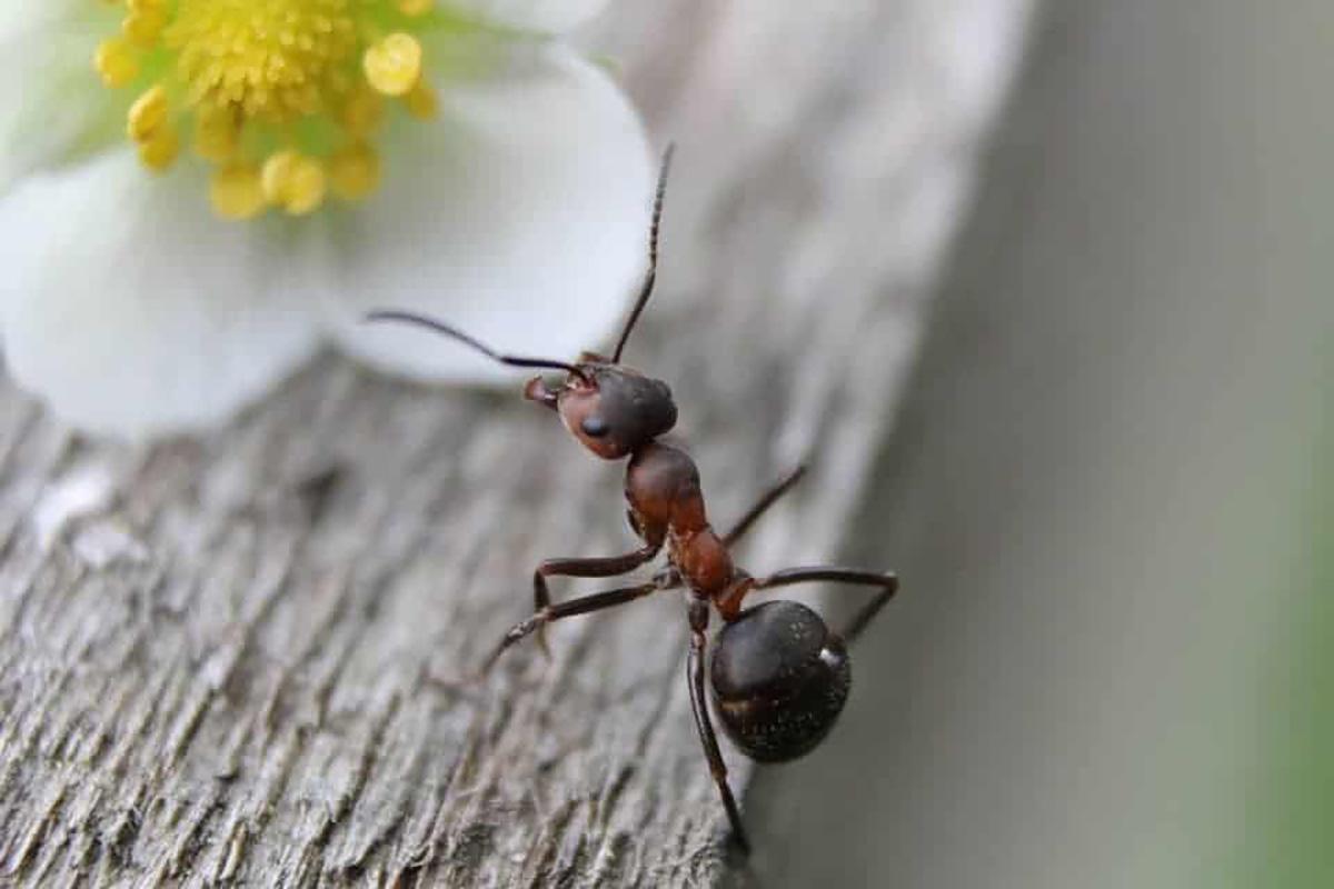 Faire Fuir Les Fourmis 4 astuces naturelles anti fourmis à fabriquer à la maison