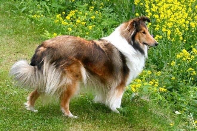 un chien de race shelty