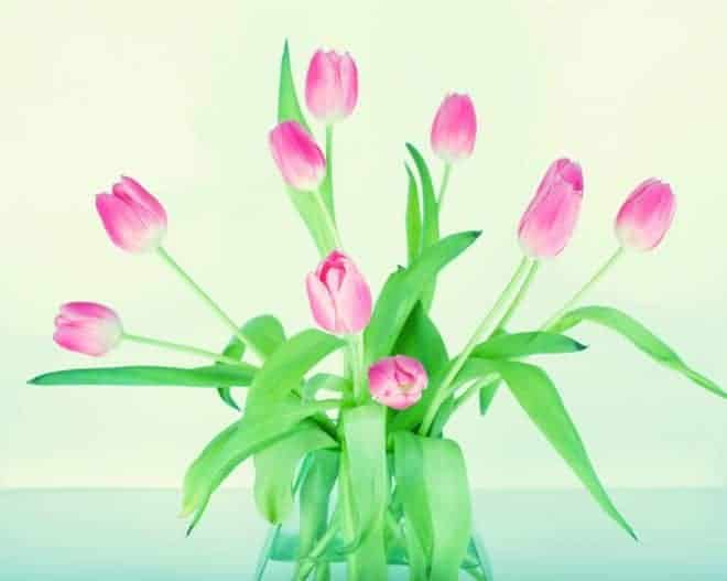Des tulipes.