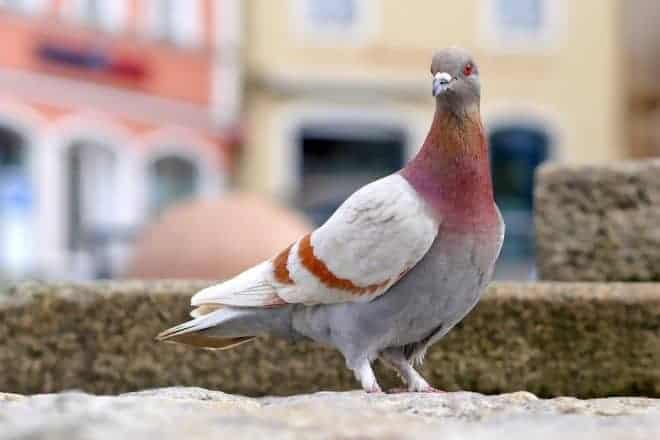 Pigeon sur un balcon