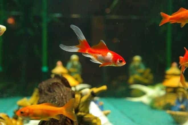 Des poissons dans un aquarium.
