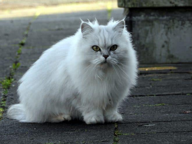 Un chat blanc