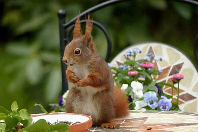 Écureuil sur une table