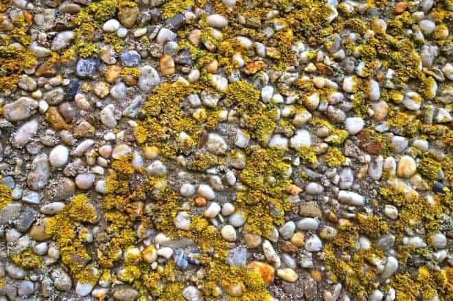 Lichens sur une dalle.