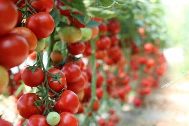 Des fruits de tomates