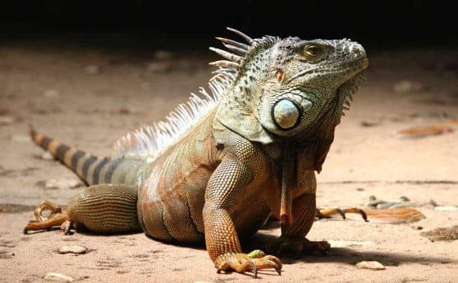 Un iguane.