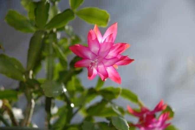 Cactus de Noël rose
