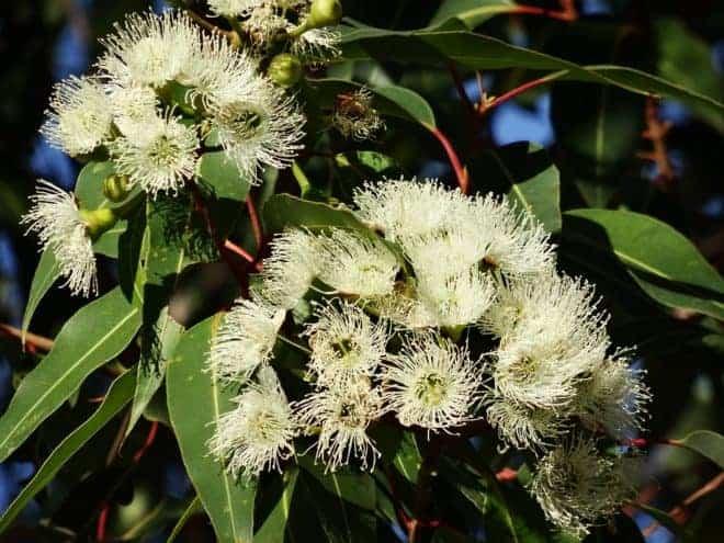Eucalyptus, fleur