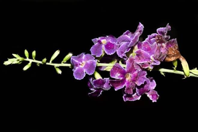 Fleur de gaïac.