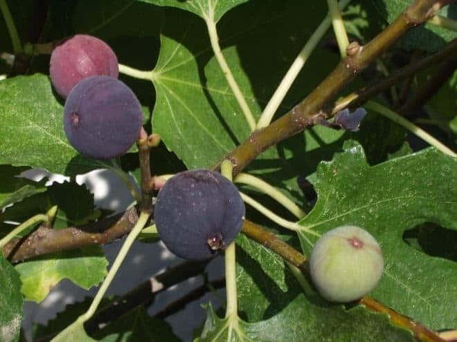 Figuier, fruit