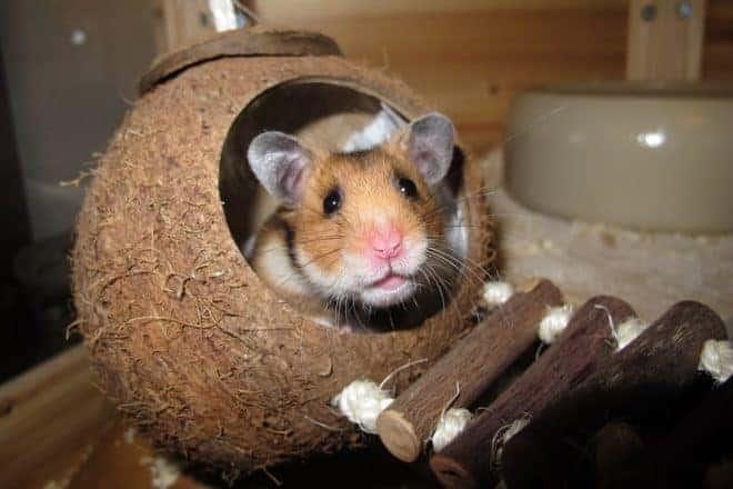 Hamster, noix de coco