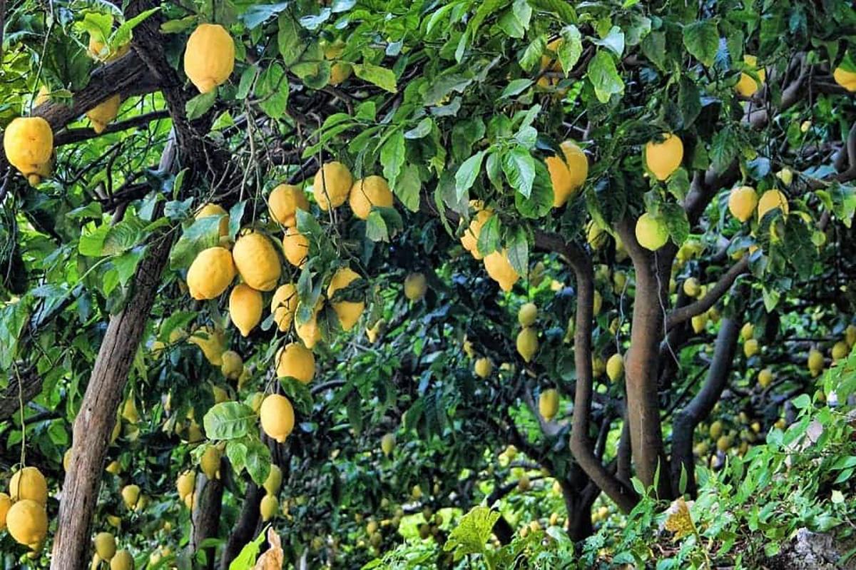 Quand planter un citronnier et comment l'entretenir
