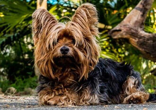 dressage chien yorkshire terrier