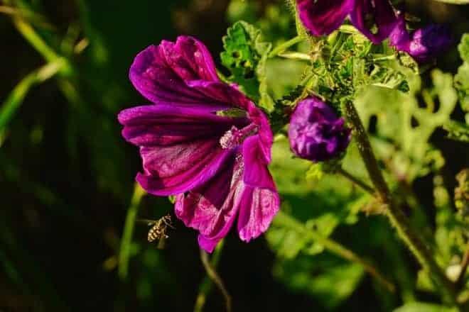 Rose trémière mauve