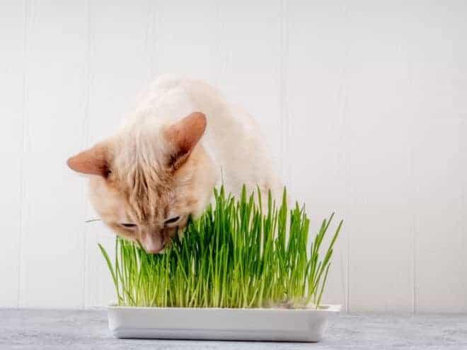 L'herbe à chat.