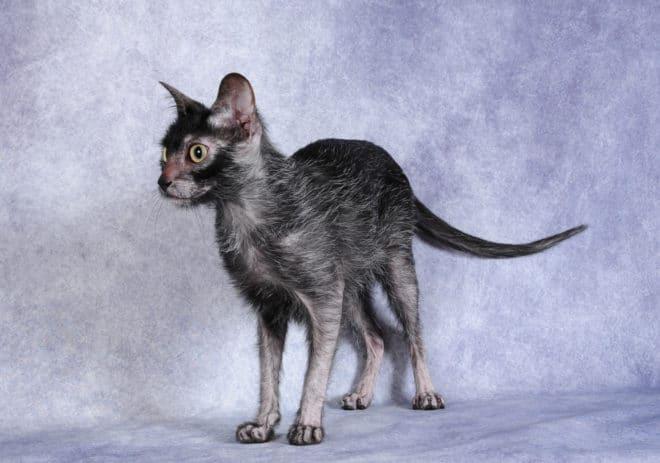 Le Lykoi, ou chat-garou