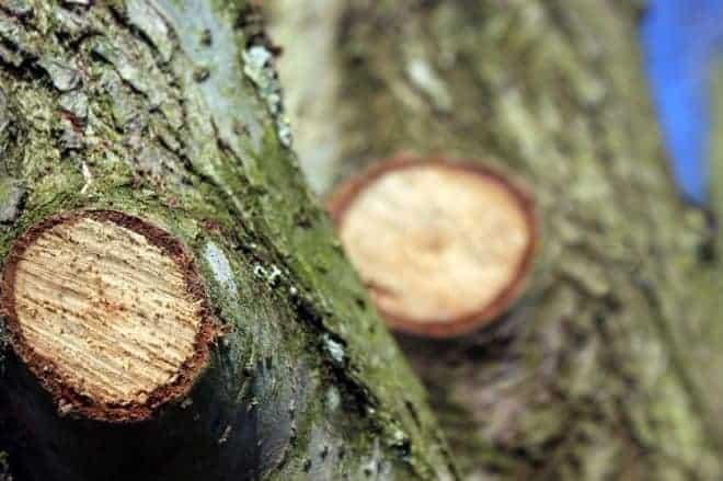 Un arbre proprement élagué.